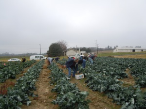 Volunteers at work in the broccoli field
