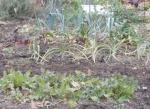 Front to back: arugula, garlic, chard, leeks.