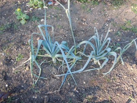 The cold is unlikely to hurt the leeks, which have been very tasty.