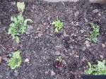 Some of the transplanted lettuce seedlings; I covered others with mulch.