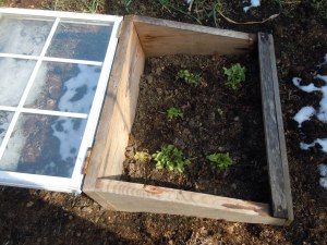 These lettuce seedlings were well protected by the cold frame.