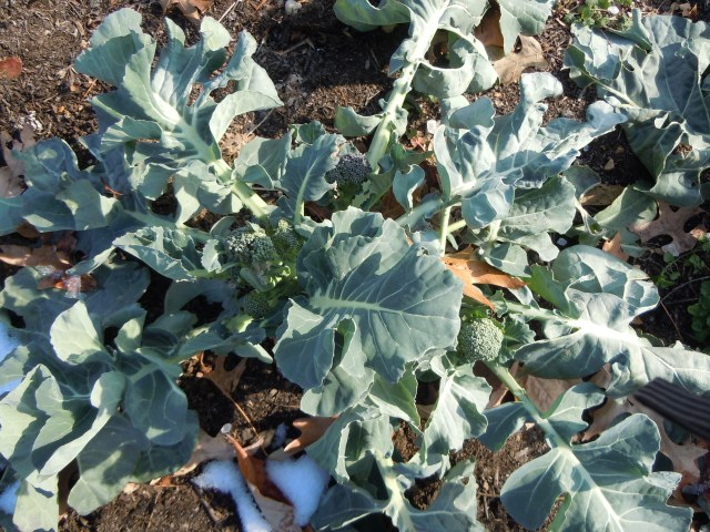 Broccoli is apparently even more cold-hardy than I thought!
