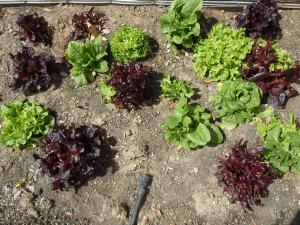These lettuces have done well over the winter in the Library garden.