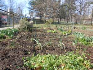 The garden with its sheared arugula, pea trellises and faint lines of seedlings.