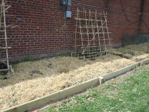 The border has created a deeper bed for the plants.  Peas are planted under the bamboo trellises.