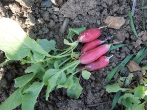 These radishes, called Patricia, are a different variety than I planted last year.