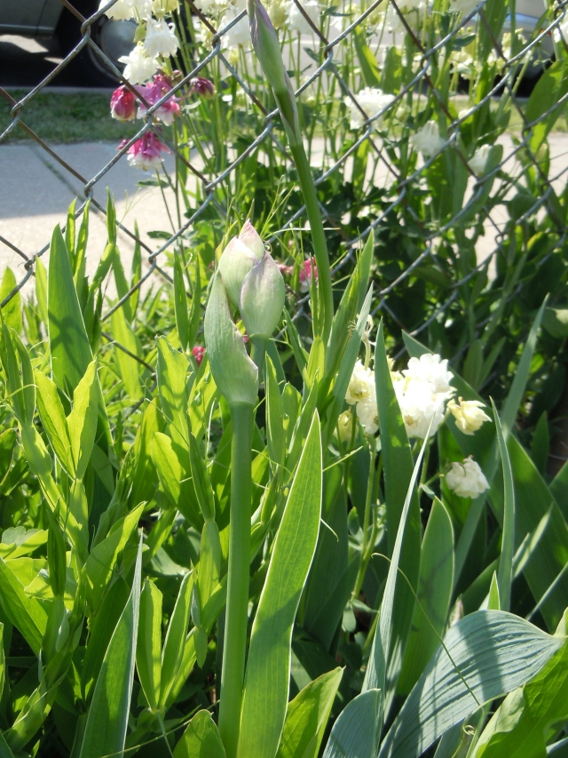Iris buds and white and pink columbine blossoms are my first flowers this year.