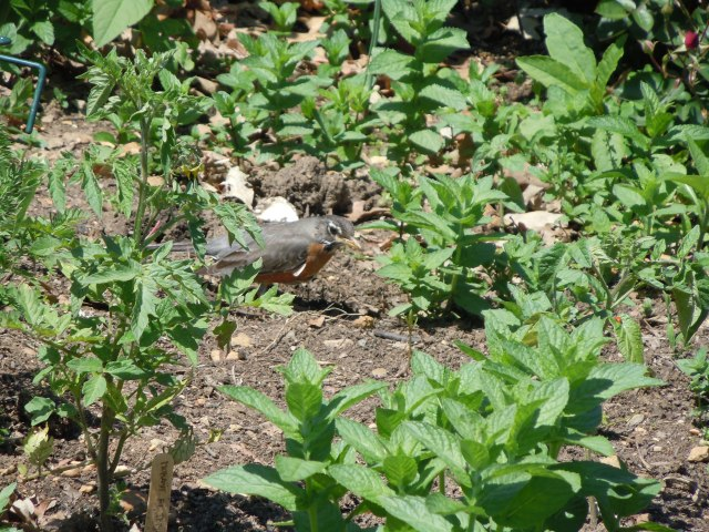 This robin was finding its own harvests among the mint and tomato seedlings.