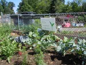 Broccoli foreground, collards by the fence.  Left, near the collards, will be okra.