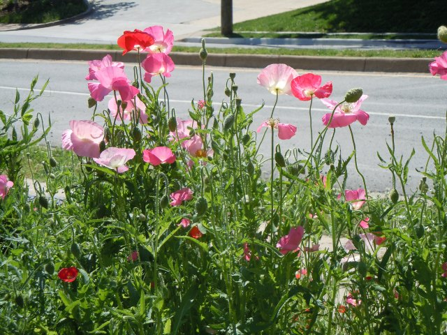 The poppies are a bonus for the Plot garden.