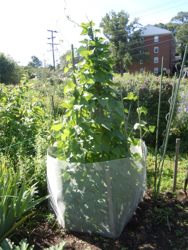 Ah, the sight of healthy bean plants, unmolested by critters....