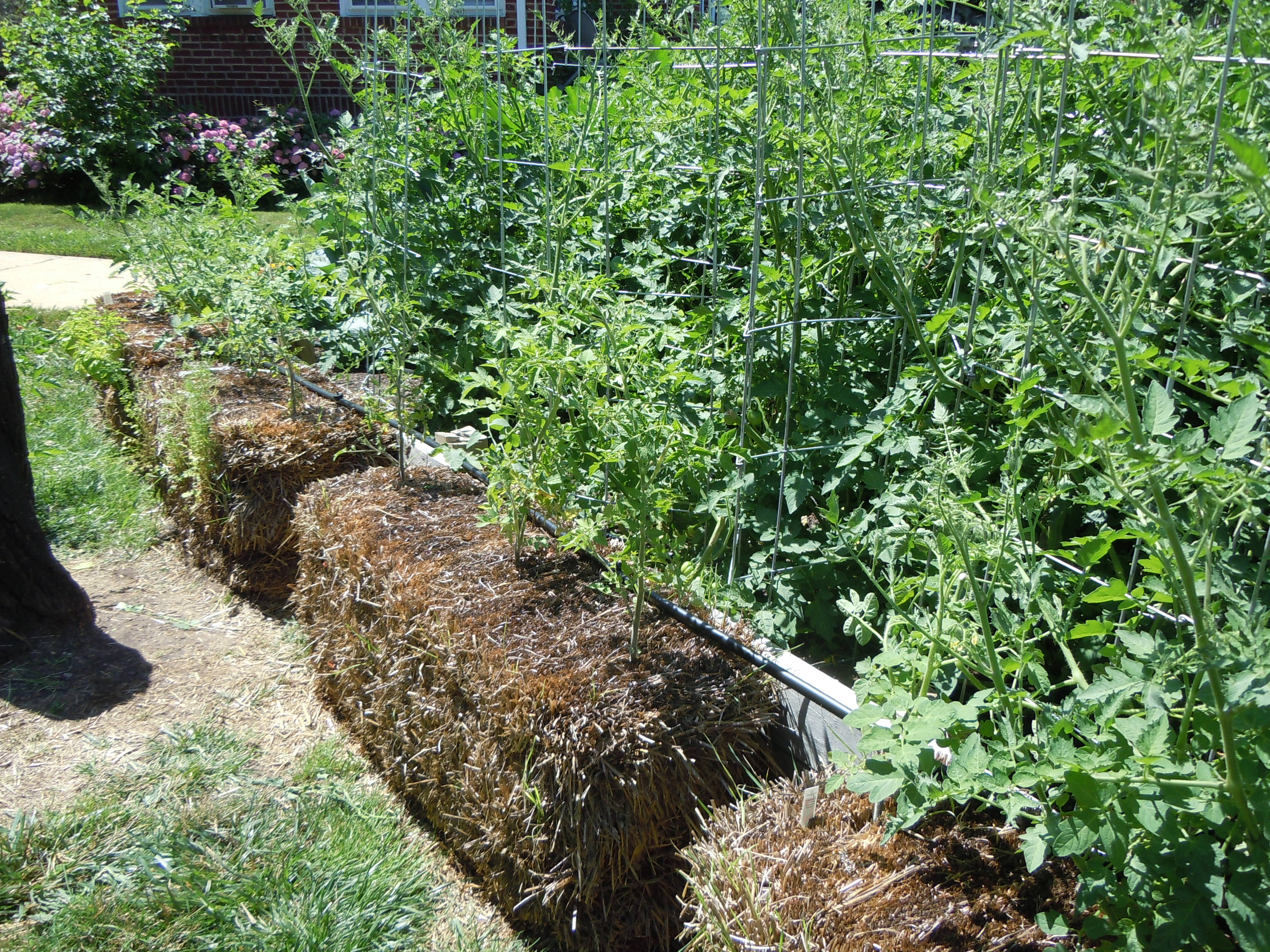 A View With Tomato Plants In The Bales.