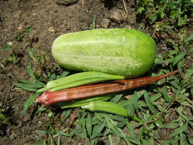 I know at least one fellow gardener who would tell me this cuke was past its prime, but I'll  try it anyway!