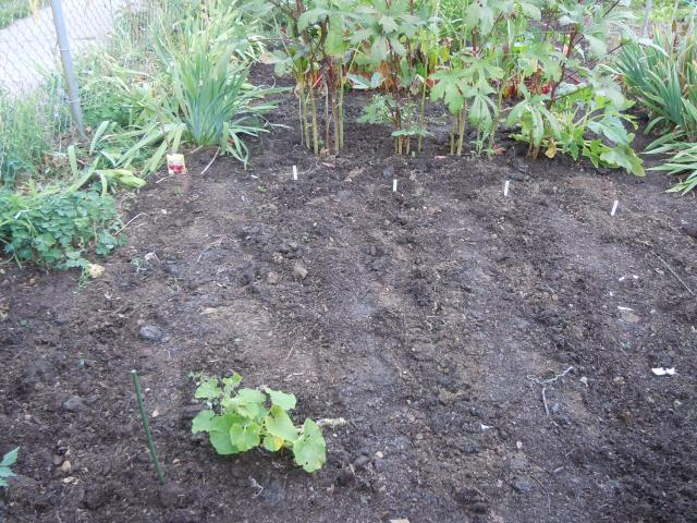 Some of the rows I planted at the front.  The sad squash is a Blue Hubbard that seems to have survived the bore worm...