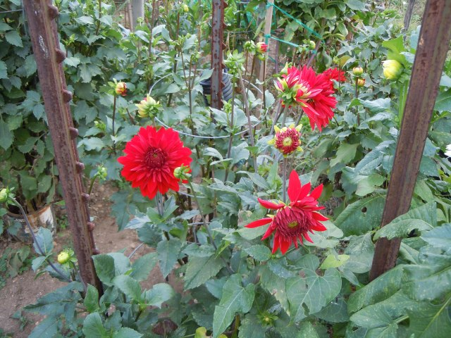 One of my fellow gardeners grows a large variety of Dahlias.  I've never had any luck with them.