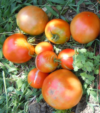 Because of recent torrential rains, many tomatoes split.