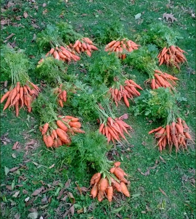Twelve fat bunches of carrots have extended the season at Ball-Sellers.