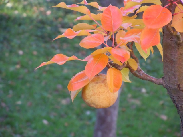 Glowing: a pear in october