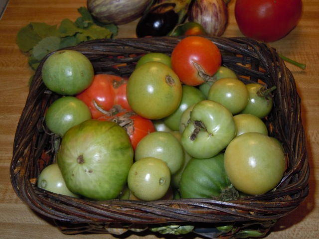I also took lots of green tomatoes from the vines as I removed them.
