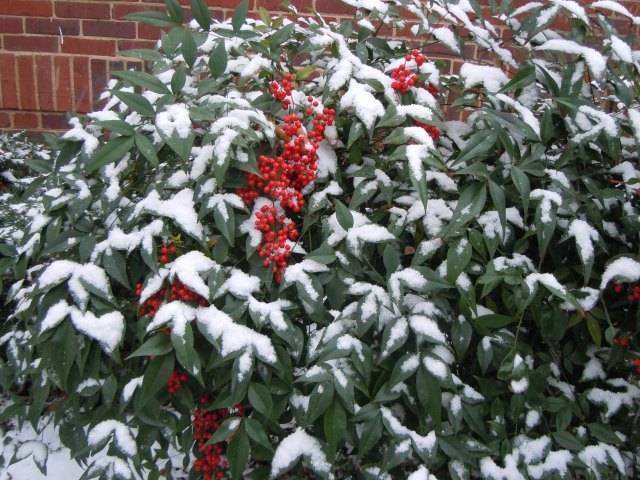 Nandina, with its bright berries, looks good under its blanket of snow.
