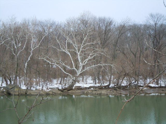 The sycamores on Roosevelt Island were displaying ghostly limbs normally concealed by green leaves.