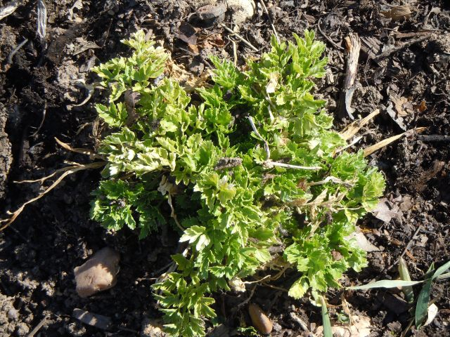 Four parsley plants from the fall will spring back as soon as it warms up.