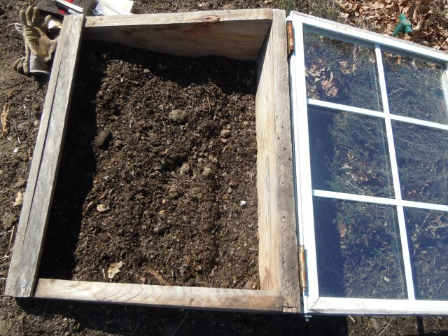 It was dry inside the cold frame, so I watered from jugs I brought with me--the water in the garden not being on yet.
