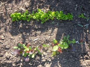 The lettuces finally had the courage to come up.