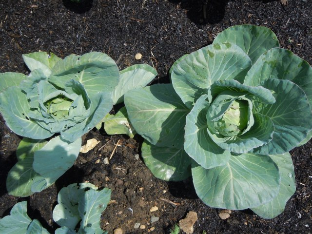 We've harvested three cabbages and had two stolen.  These are coming on nicely.
