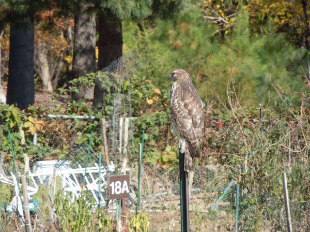 I think it was diving after a vole.  If I could speak hawk, I would have thanked and encouraged the bird.