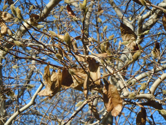 At least these magnolia buds are set, snug in their fur coats until spring.