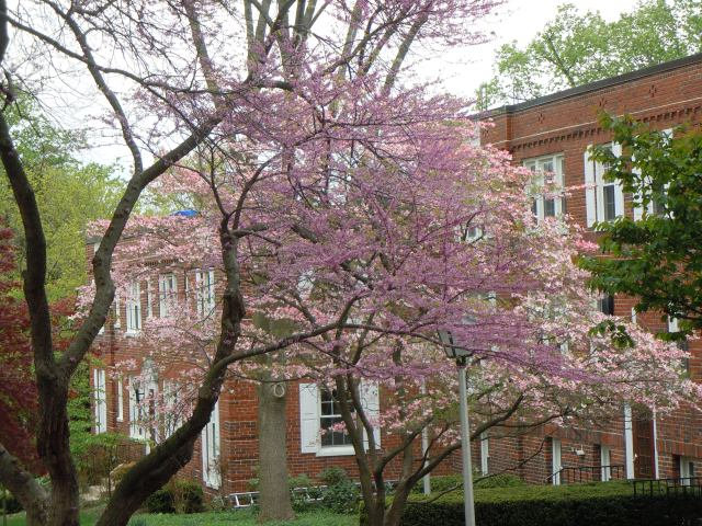 Every year I love the way the redbud and the dogwood look together.