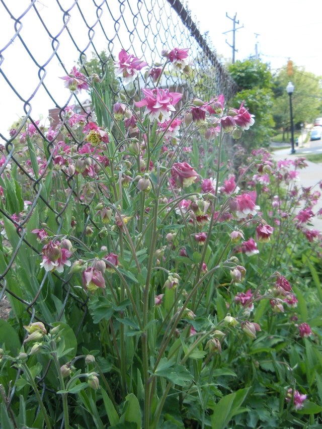 These provide lavish blossoms every year.  They started from a wildflower mix and seem to thrive in this border.