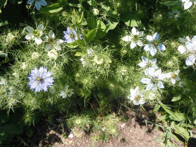 Love-in-a-Mist in my garden have three different colors of flowers