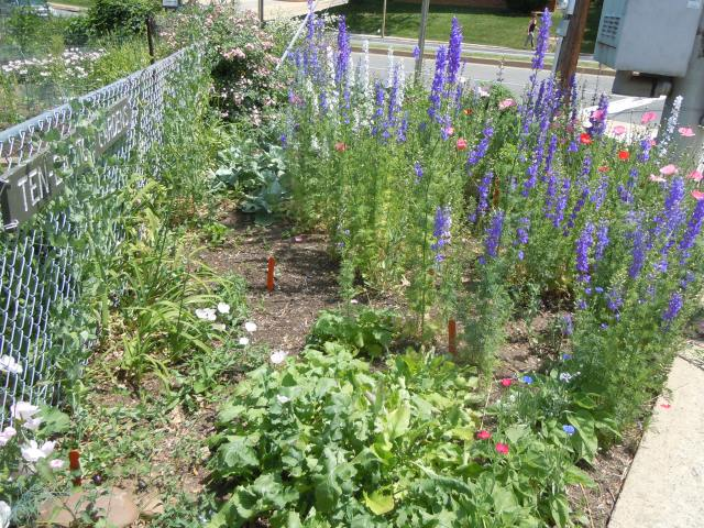In the gardens, the larkspur and poppies, lavender, and sweet peas are making themselves known.  Yes, I cut some!