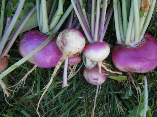 I am partial to purple top turnips...