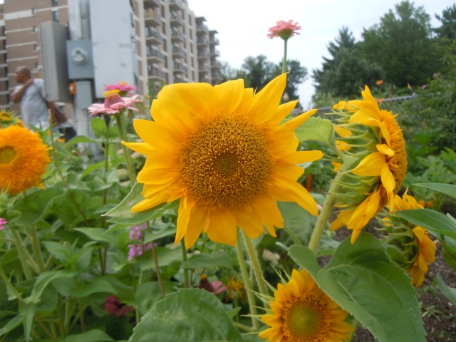 There are several varieties of sunflower in the border.