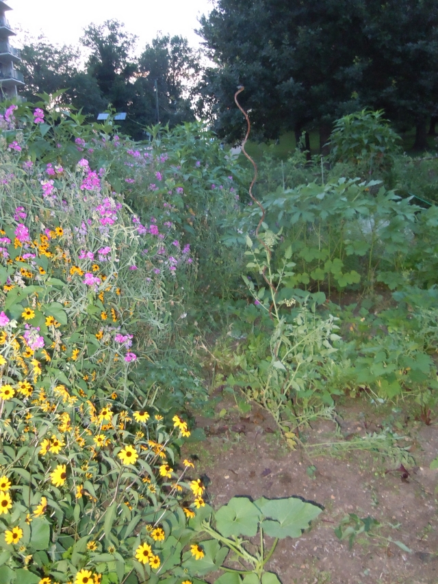I've been pleased at the growth of the black-eyed susans.