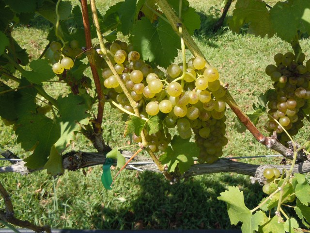 ...and some very nice bunches of grapes.