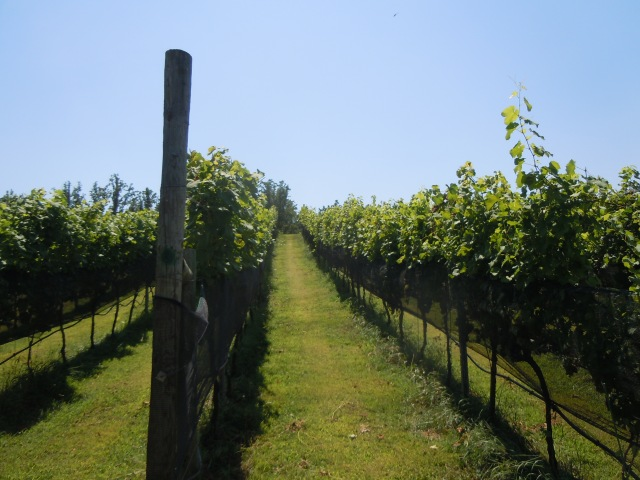 We saw acres of grape vines.