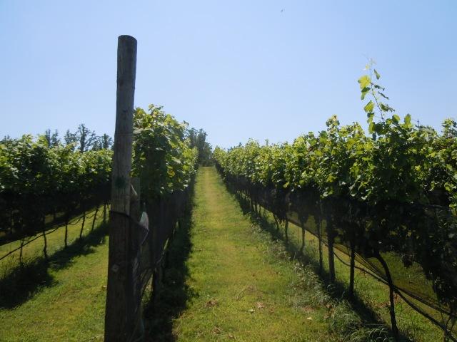We saw acres of grape vines.