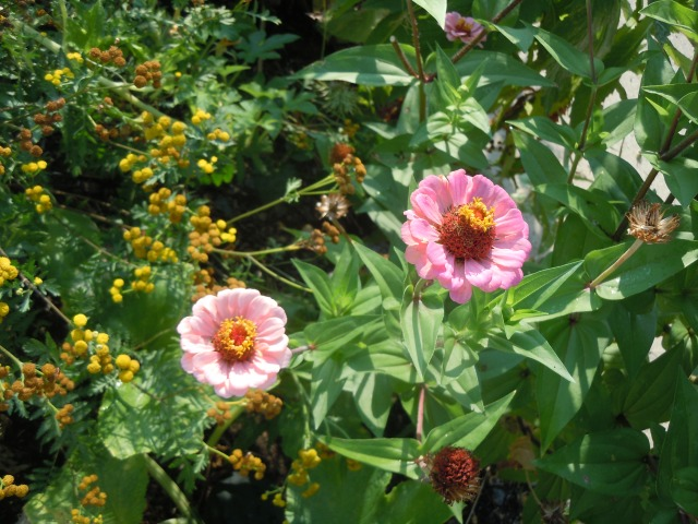Zinnias and Tansy abound.