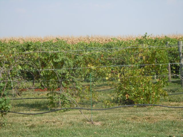 Here are some of the vines near the winery's entrance, backed by corn.