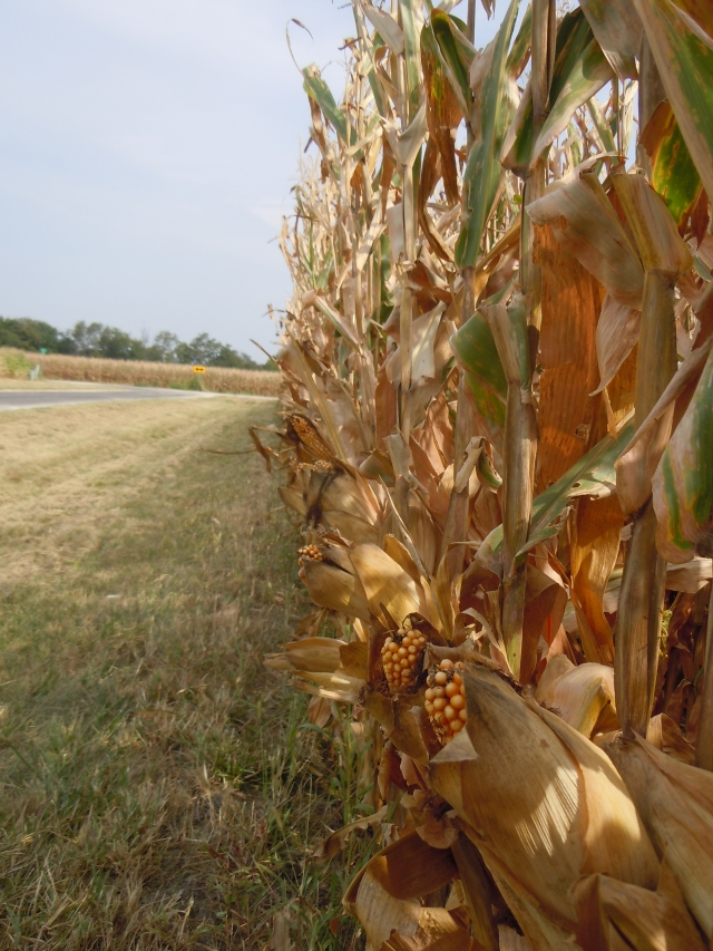 Remember the cornfields back in July? This is how they look now--and in fact may have been harvested.