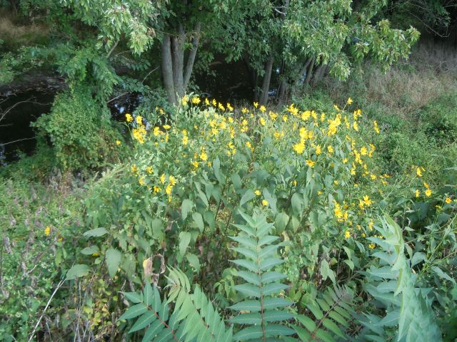 I also saw Jerusalem artichoke on one of my walks, competing with a sumac tree.