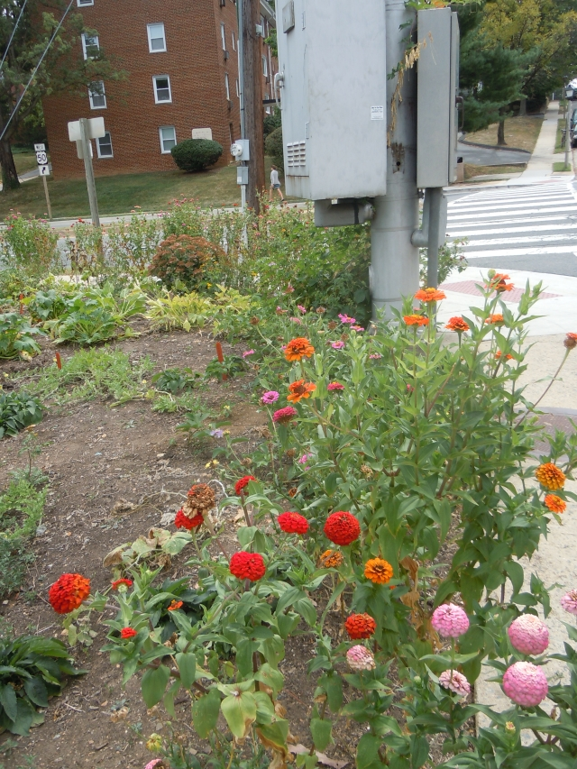 The zinnias are still blooming, but starting to look a little seedy...