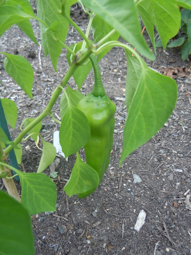 This is one of many peppers in the small Plot garden.