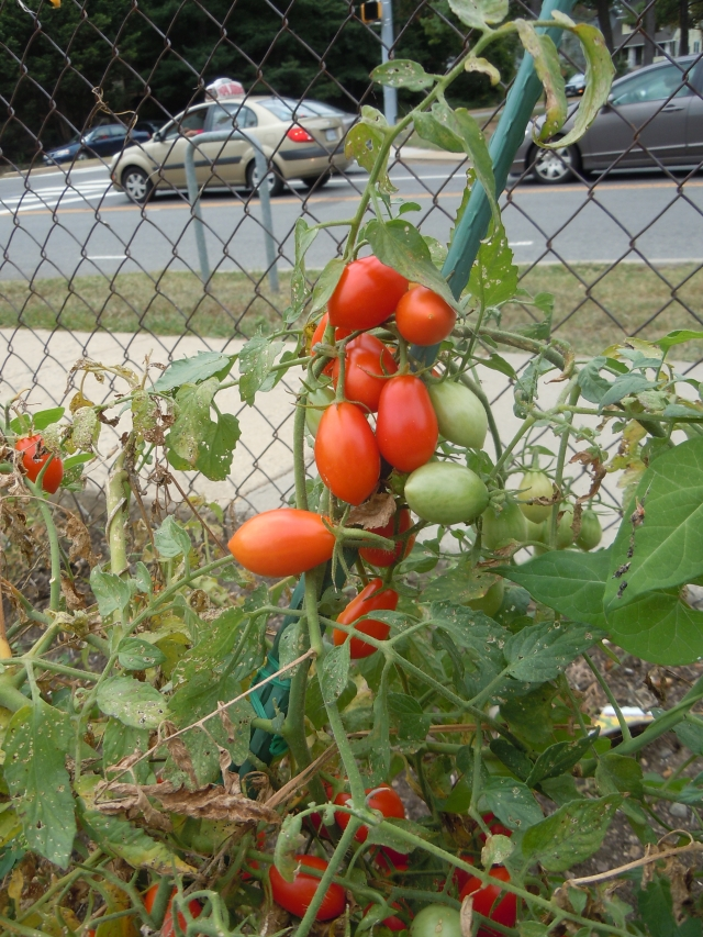 The small garden also has a bounty of Juliet tomatoes still ripening.