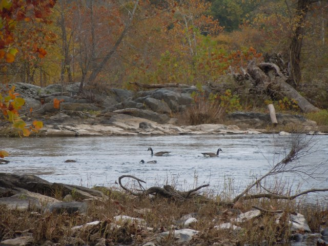 Two Canada Geese and a Mallard drake.