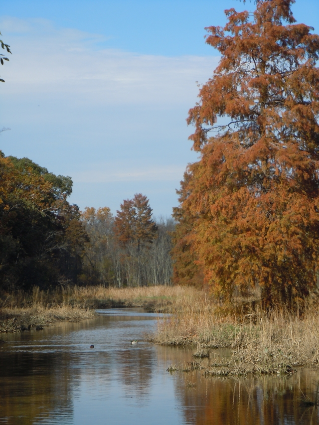 My duck picture was blurry, but this one shows the bald cypress, getting ready to drop its needles.